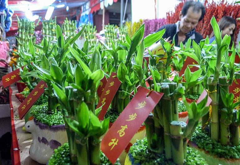 Chinese New Year Prosperity Plant Available Singapore